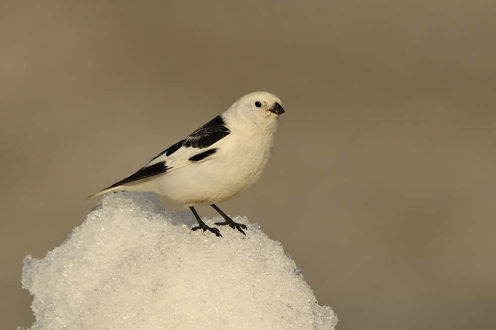 Snow Bunting - © John Crawley
