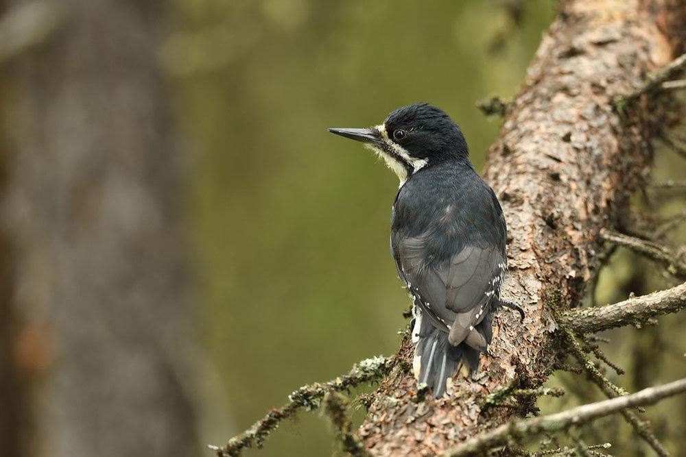 Black-backed Woodpecker - © John Crawley