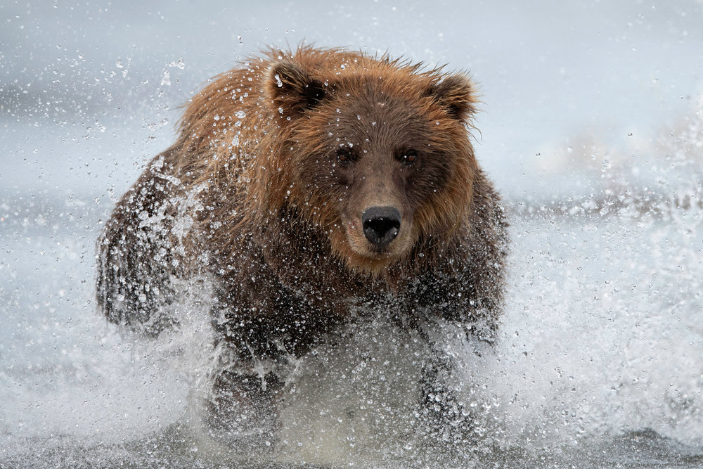 brown_bear_9394_4k.jpg
