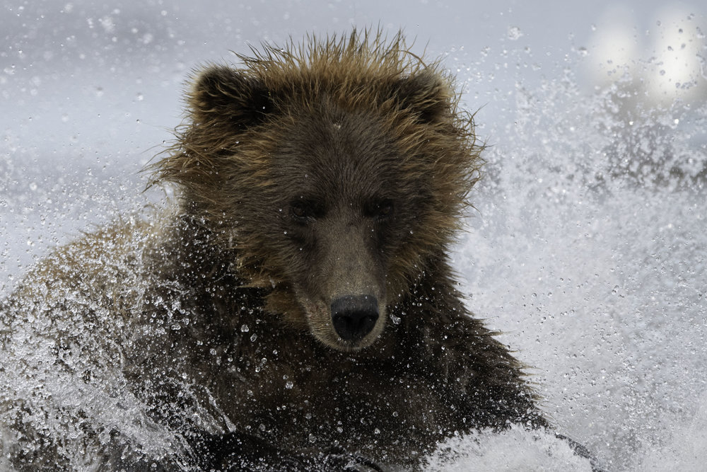 brown_bear_9396.jpg