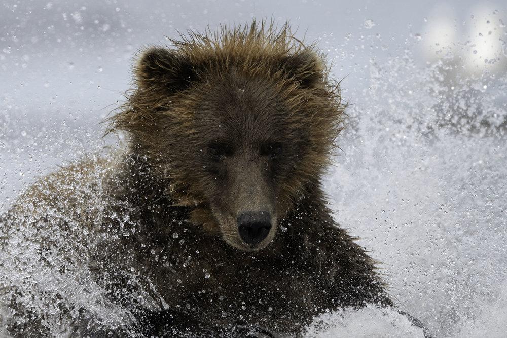 brown_bear_9396.jpg