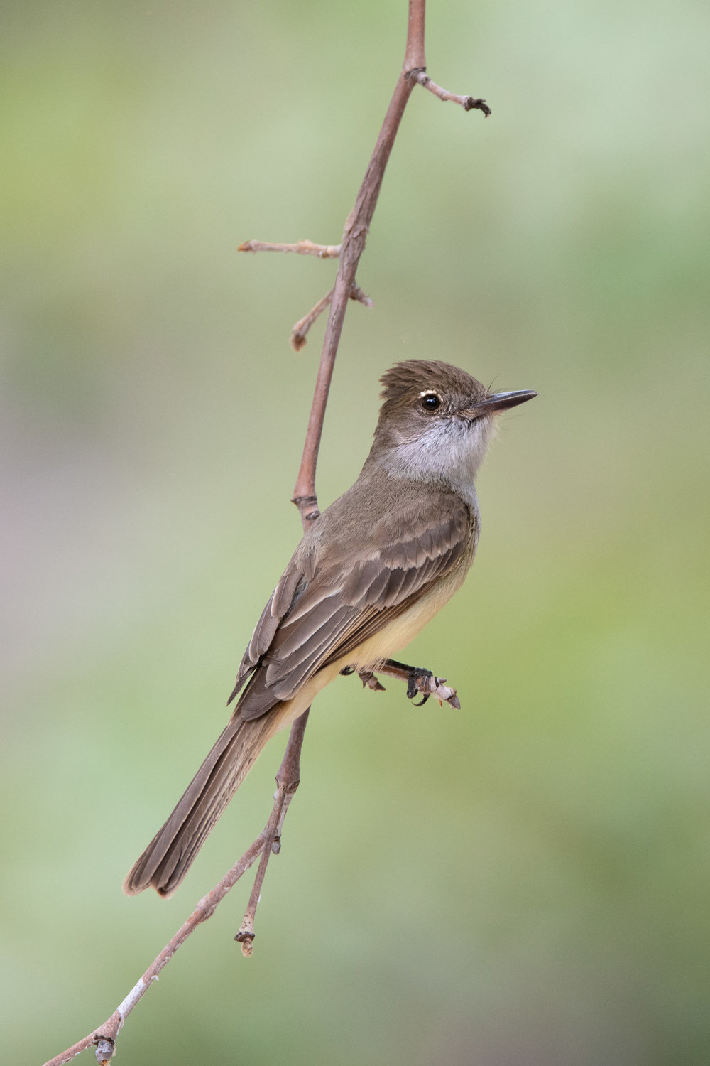brown-crested_flycatcher_4663b.jpg