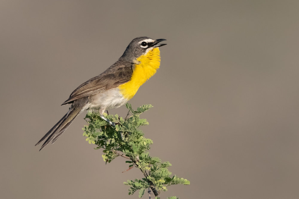 yellow-breasted_chat_4413b.jpg