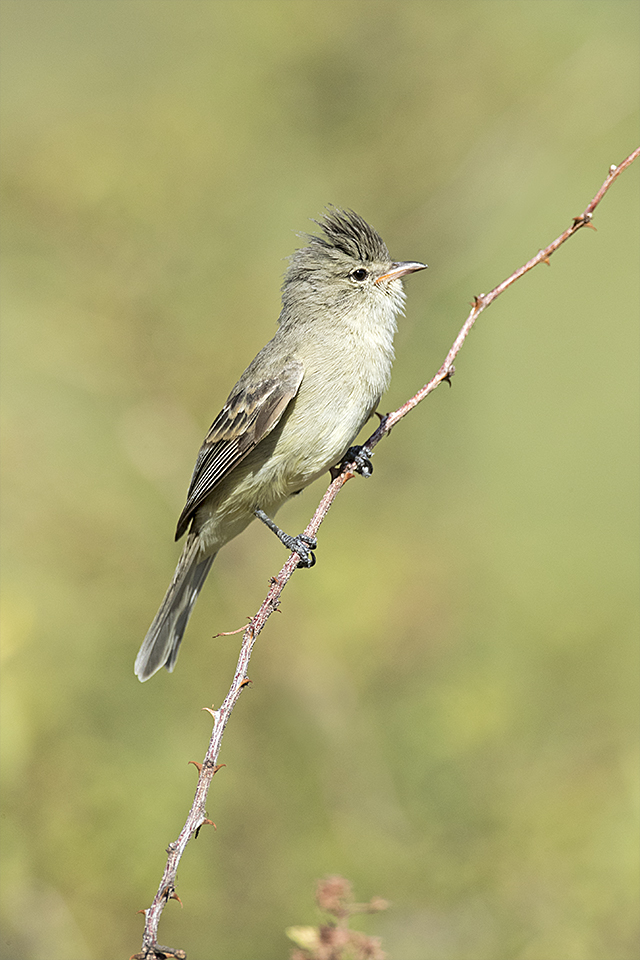 Northern Beardless Tyrannulet © Tony Temple