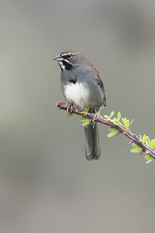 Five-striped Sparrow © Tony Temple