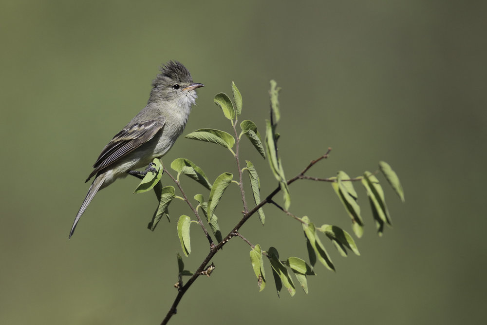 Northern Beardless-tyrannulet_22296_fef9759de0_o.jpg