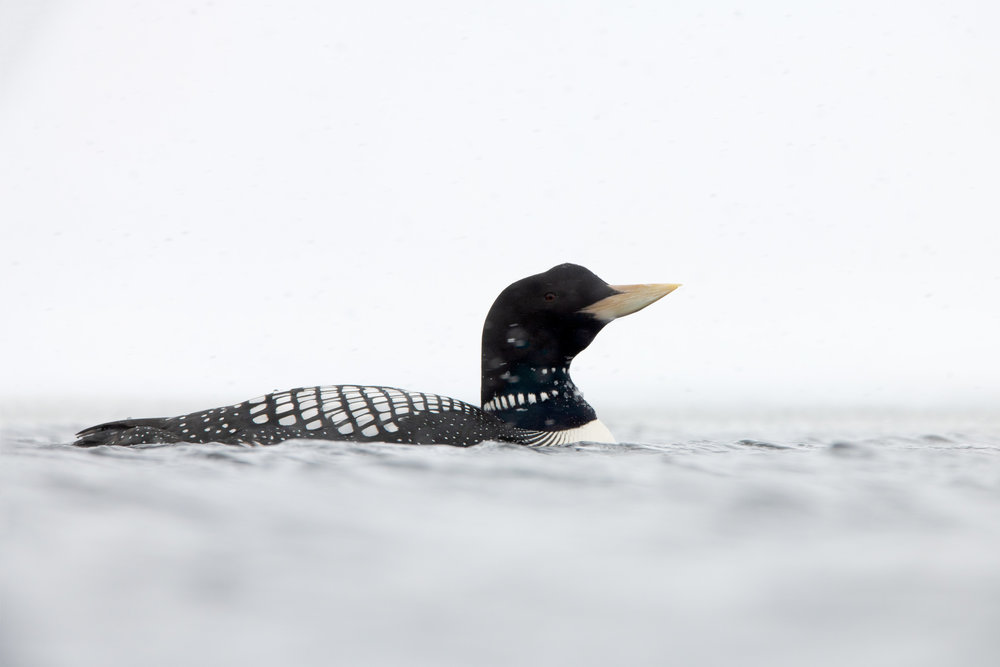 yellow-billed_loon_9387b.jpg
