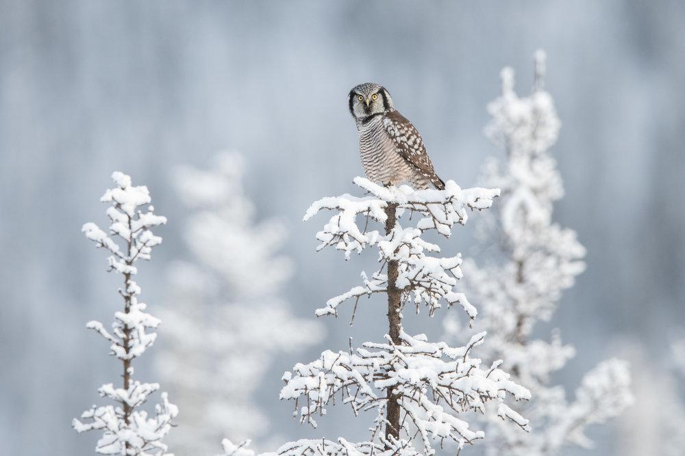 northern_hawk_owl_001_1710b.jpg