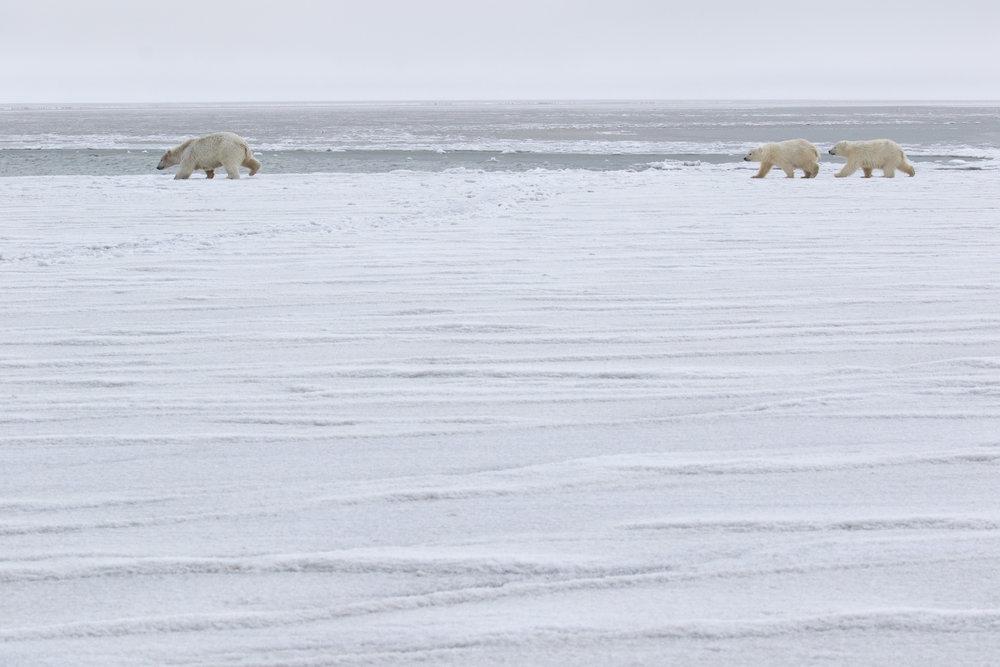polar_bear_0R6A5004b.jpg