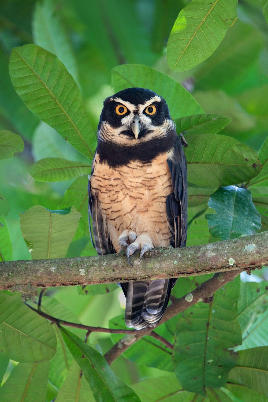specticled_owl_001_9853b.jpg