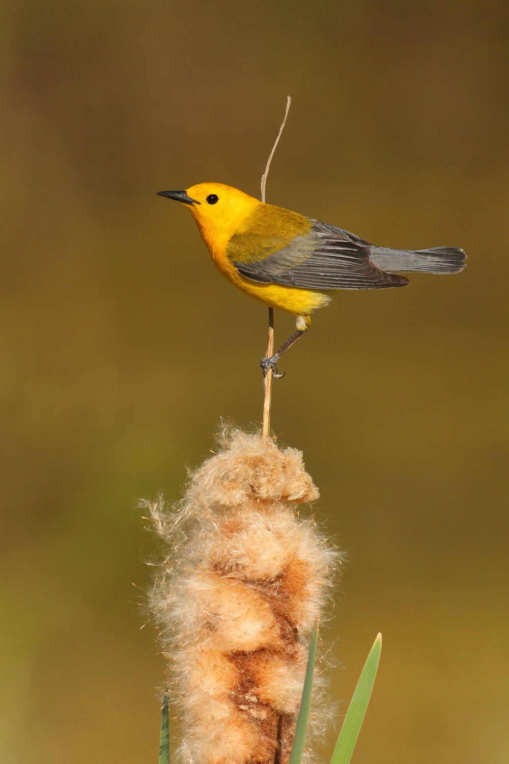 prothonotary_warbler_0100803a.jpg