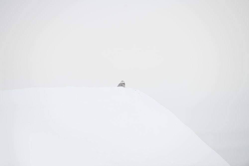 snowy_owl_002_1976.jpg