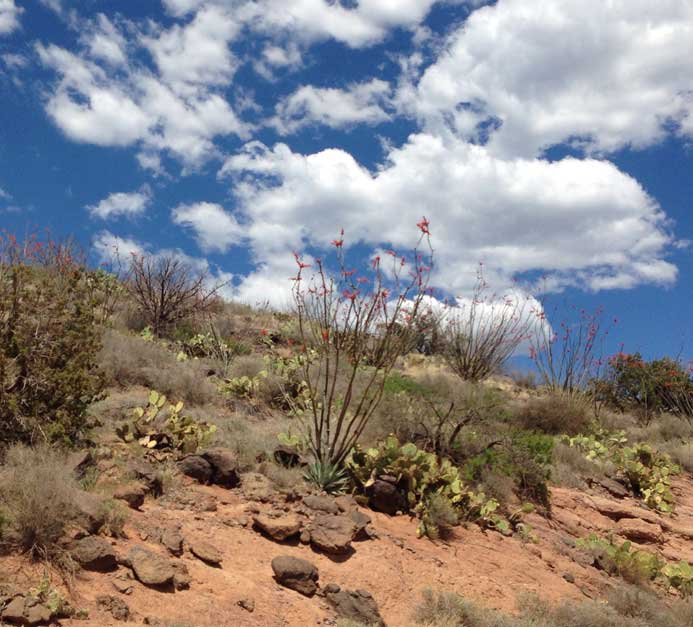SouthwestRoadtrip_Occotillo.jpg