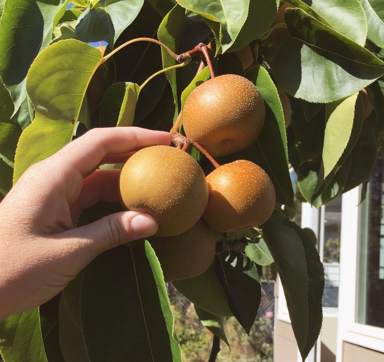 Fruit from the Asian Pear tree in the front