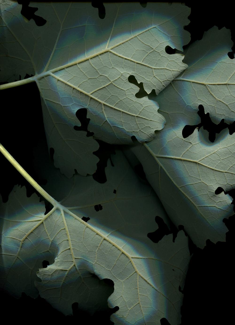 web.macleya cordata.jpg