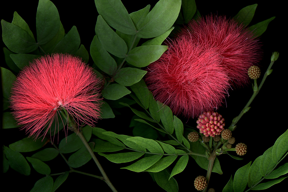 Calliandra collabLTEB WEB.jpg