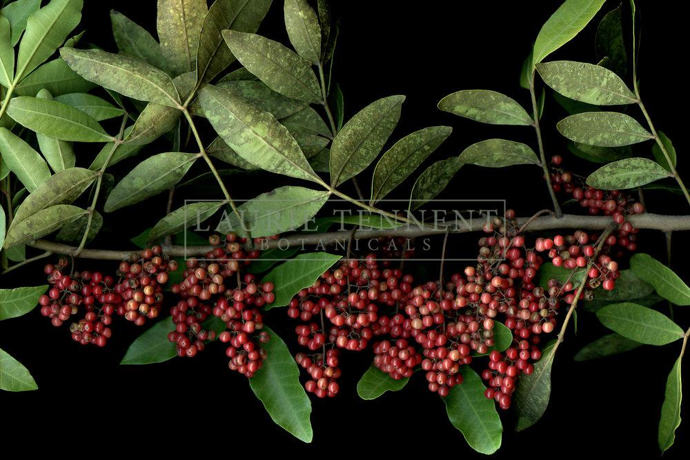 brazilian peppercorn webw.jpg