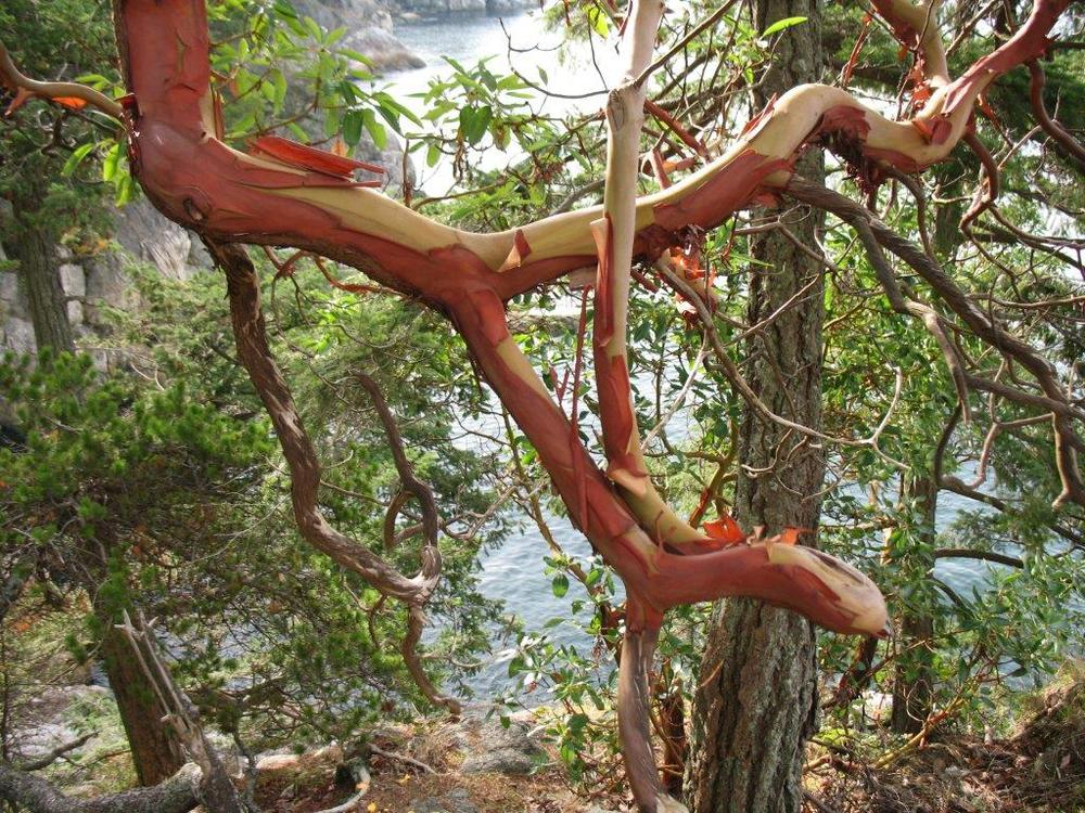 Madrone branch