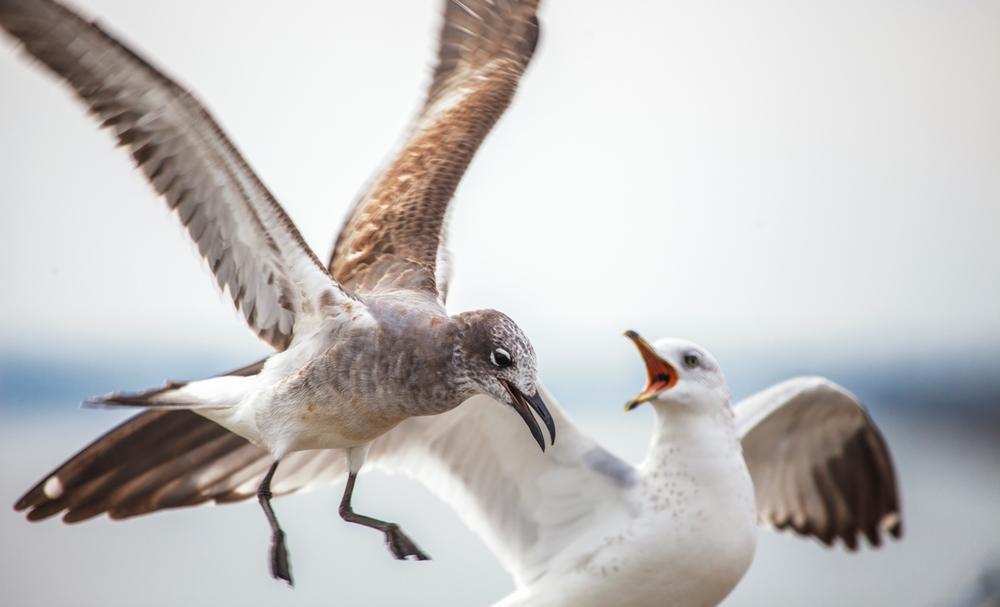 打架的海鸥们,我自己还挺喜欢这张照片的(点击放大)
