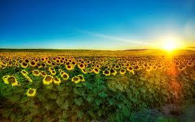 Fields of Sunflowers.