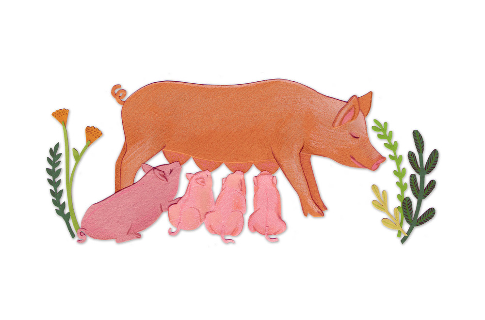 pig_pigglets_nursing_breastfeeding_illustration.jpg