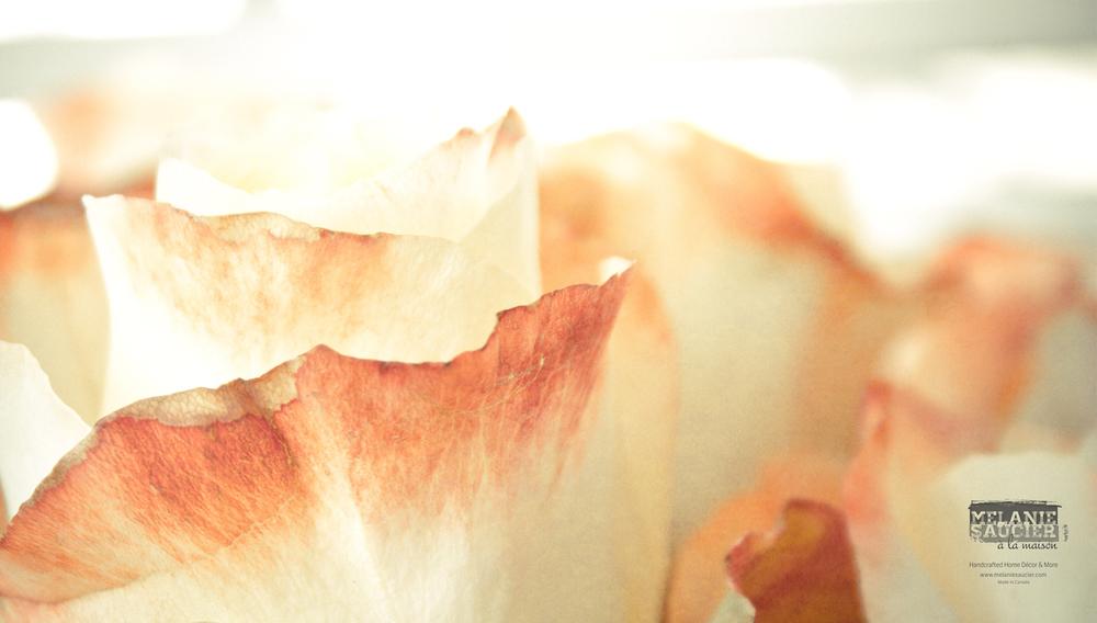 Roses_1900x1080