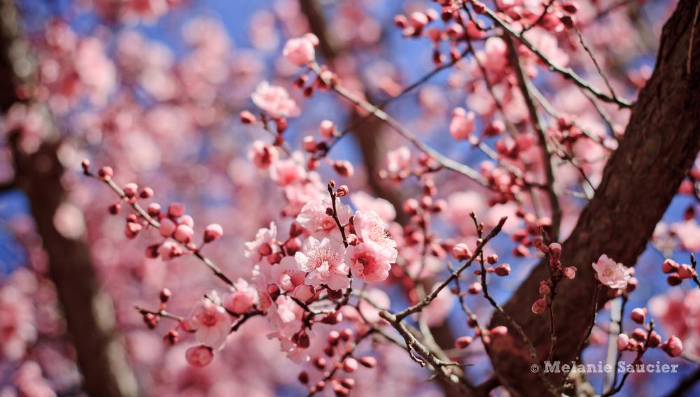 PinkBlossom-1900x1080