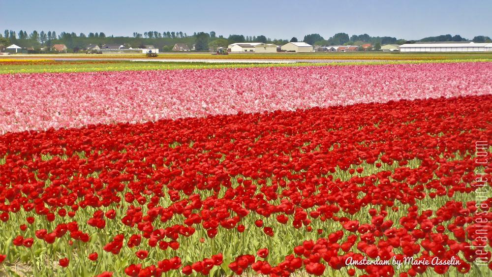 A Field of Tulips in Amsterdam by  Marie Asselin from FoodNouveau