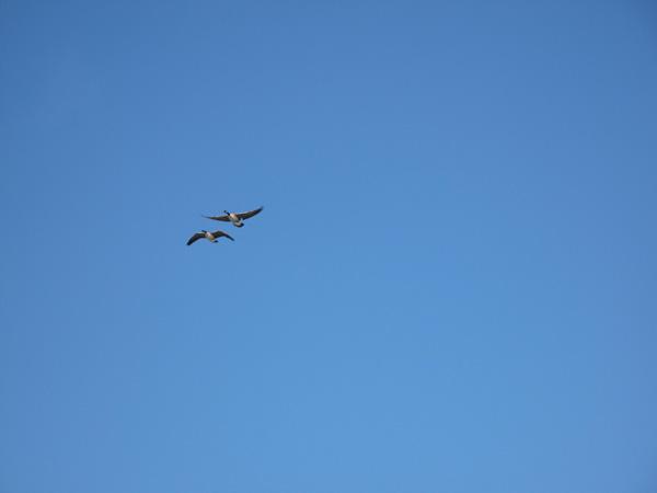 Geese-Fly.jpg
