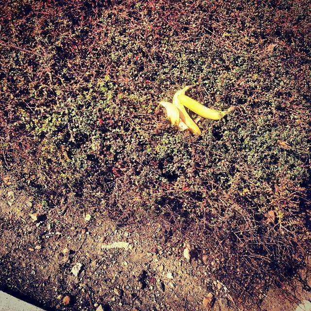 Bananas in the bushes #notajoke #2milesoftelegraph