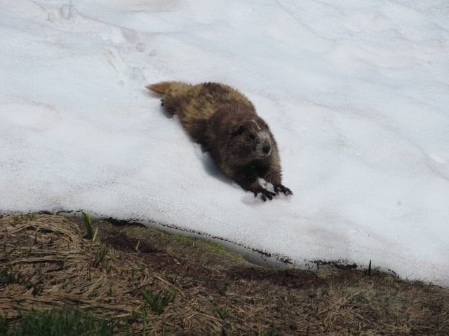 marmot rest.jpg