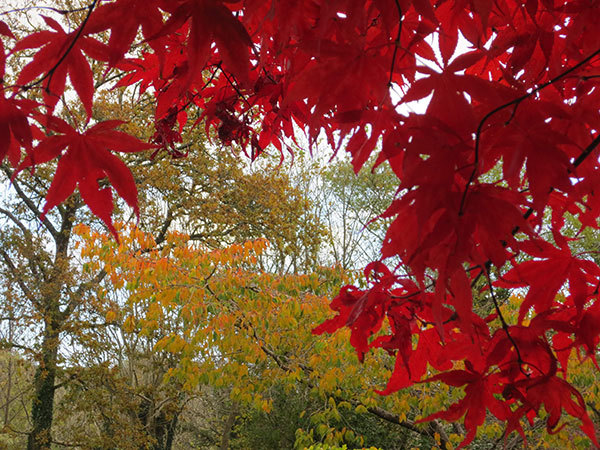 Hello November - Autumn colours and the Japanese maple tree | Cloudberry Lane