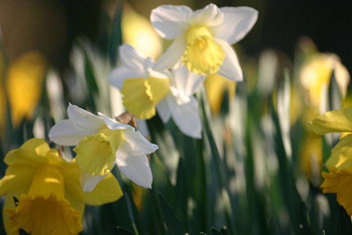Golden Daffodils in Spring | Cloudberry Lane