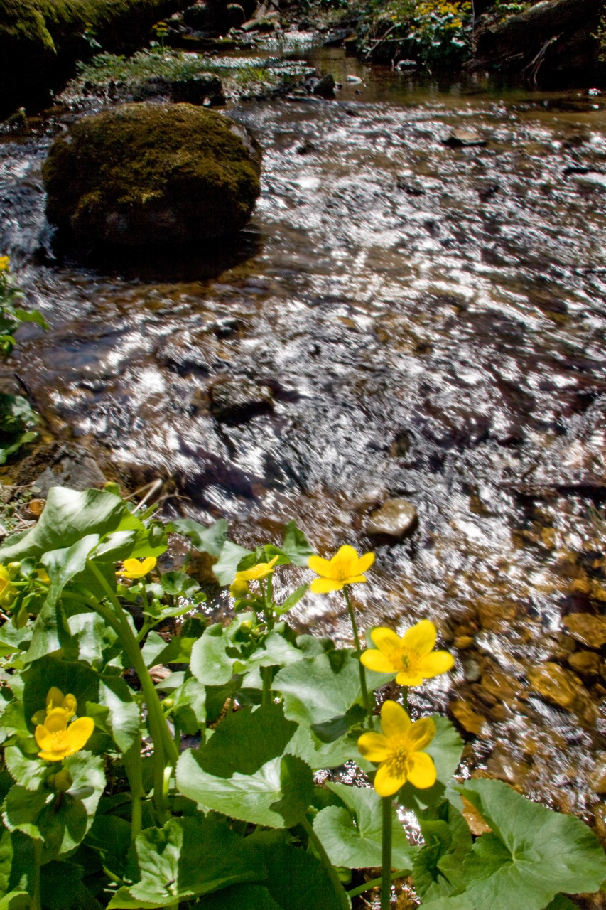 Creek and coreopsis.jpg