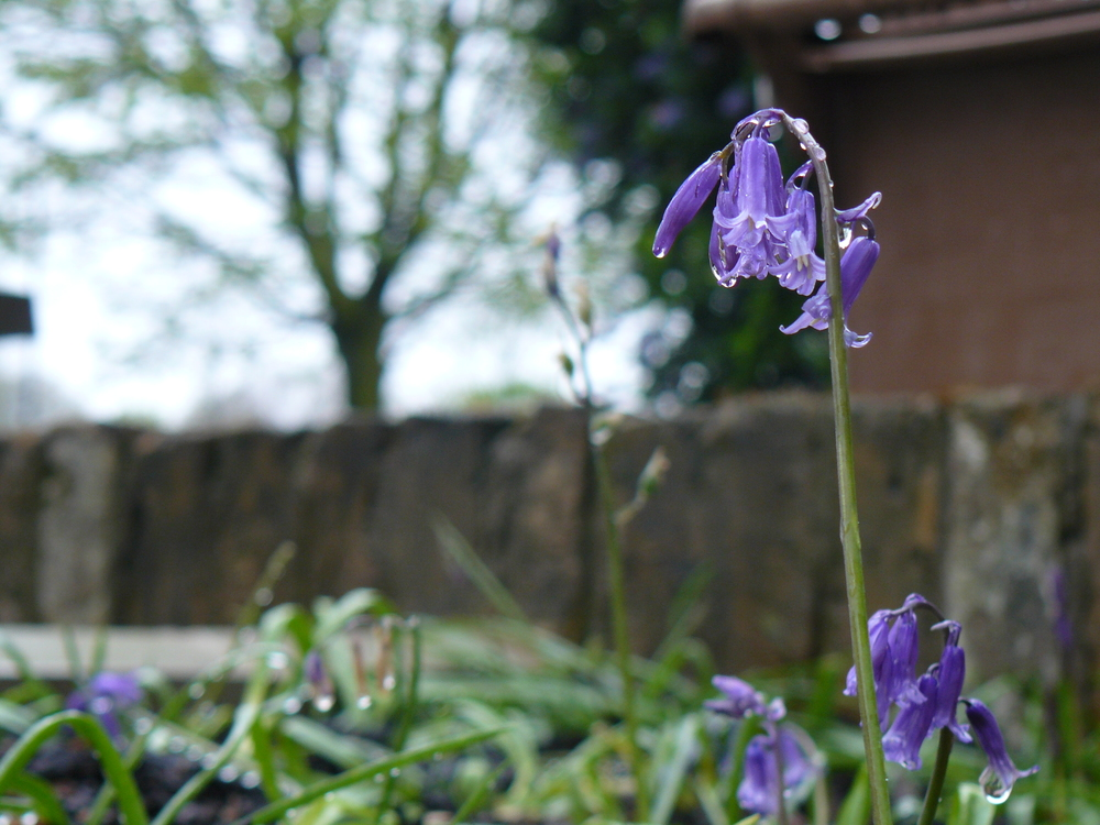 Urban Bluebells - detail