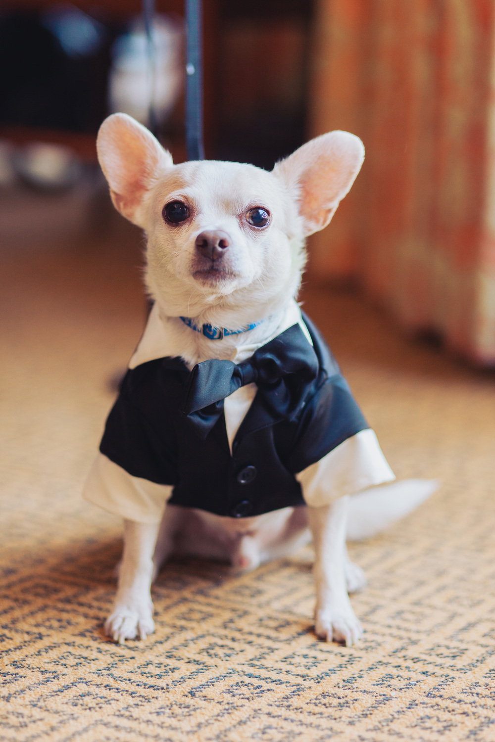 The couple's dog Cha Cha served as their little ring bearer.      Las Vegas Wedding Planner Andrea Eppolito  |  Wedding at Lake Las Vegas  | White and Blu  sh and Grey Wedding | Luxury Wedding Las Vegas