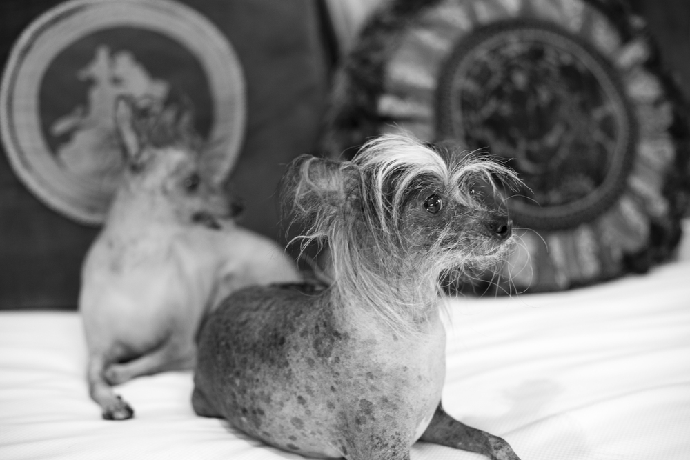 Chinese Crested Puppies.     Venue -   The Westgate    |    Las Vegas Wedding Planner & Event Design by   Andrea Eppolito    |    Photography by   AltF Photography    |    Videography by   Something New Films    |    Floral and Decor by   DBD Vegas    |    Live Art by   The Girl Who Drew You    |    Stationery by   Paper & Home