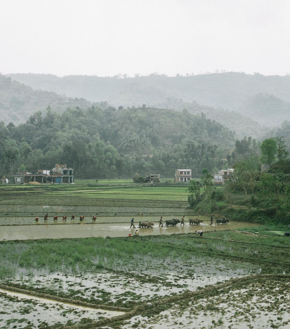 rice patty nepal2-1.jpg