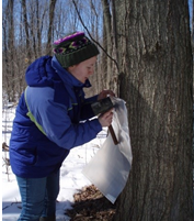 Jessica Bessner secures a plastic bag to a tree tap for sap collection.