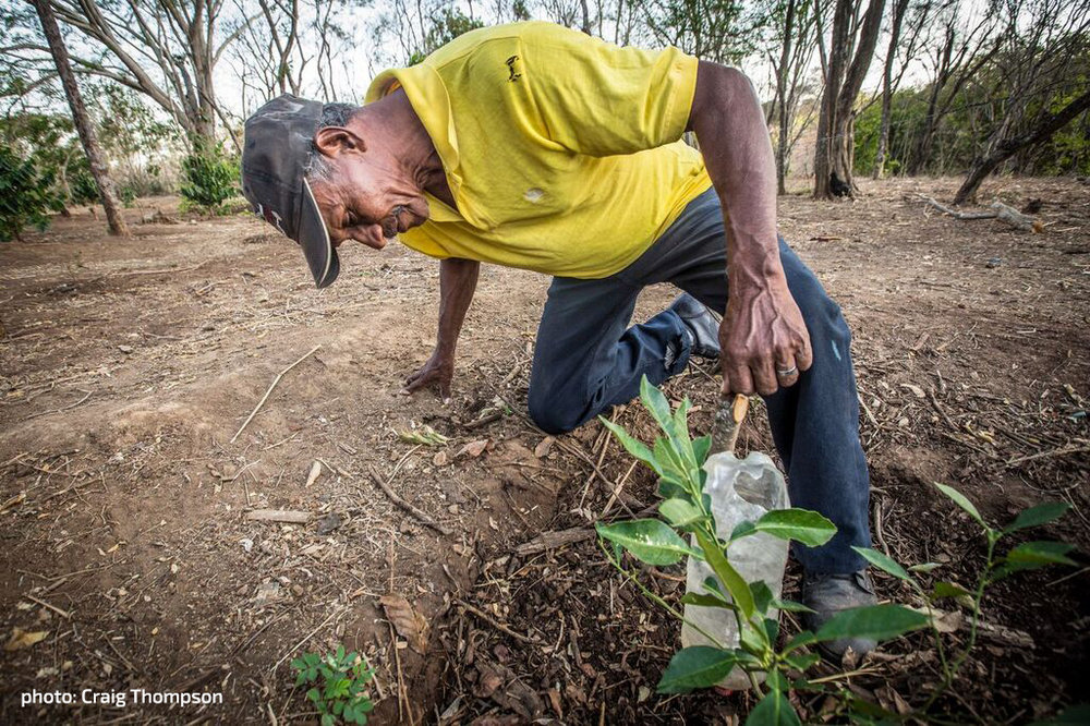 To diversify his crop and reduce  risk from weather and pests,  Pedro is planting new seedlings.  [photo: Craig Thompson]