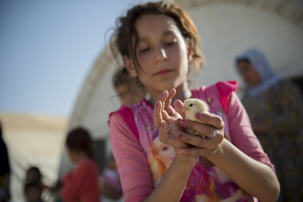 Photo credit: ACT Alliance   Sihan Jalal (10) cares for chicks as part of educational programs Week of Compassion supports in a displaced persons camp in Northern Iraq.