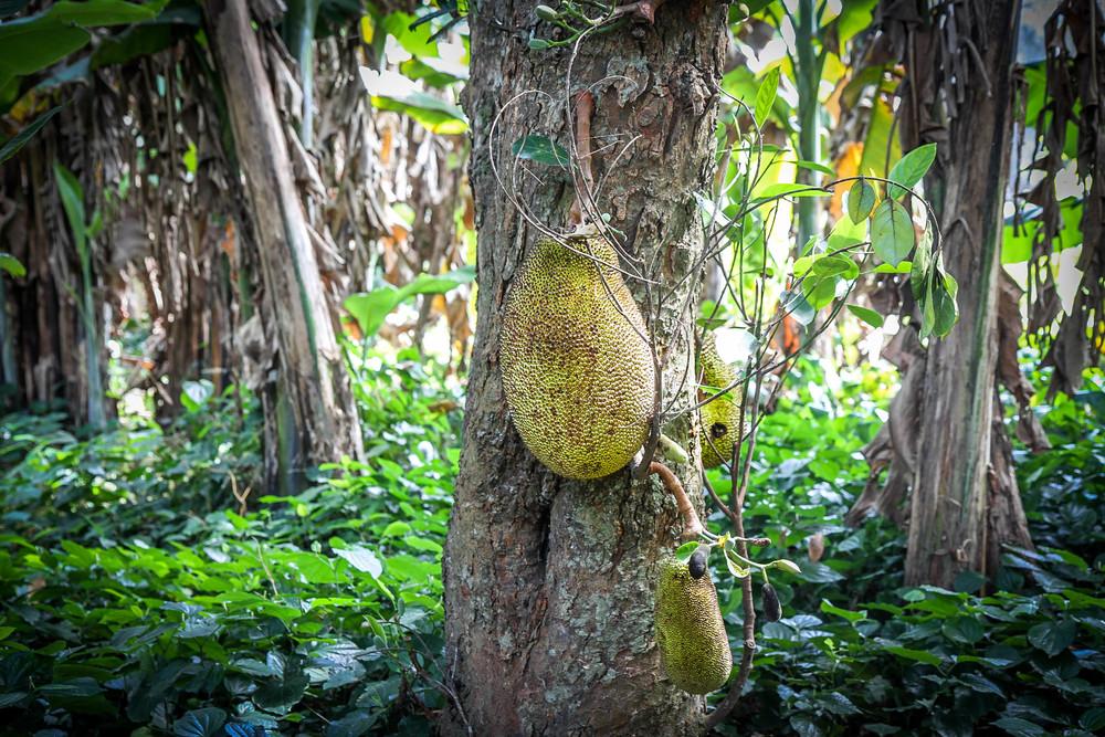 Jackfruit,  Mit