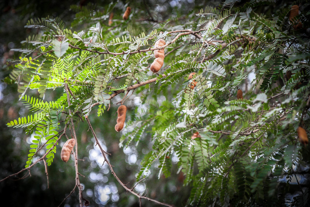 Bountiful tamarind tree