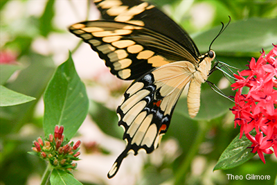 invertebrate_giant-swallowtail_Theo-Gilmore_400x267.png