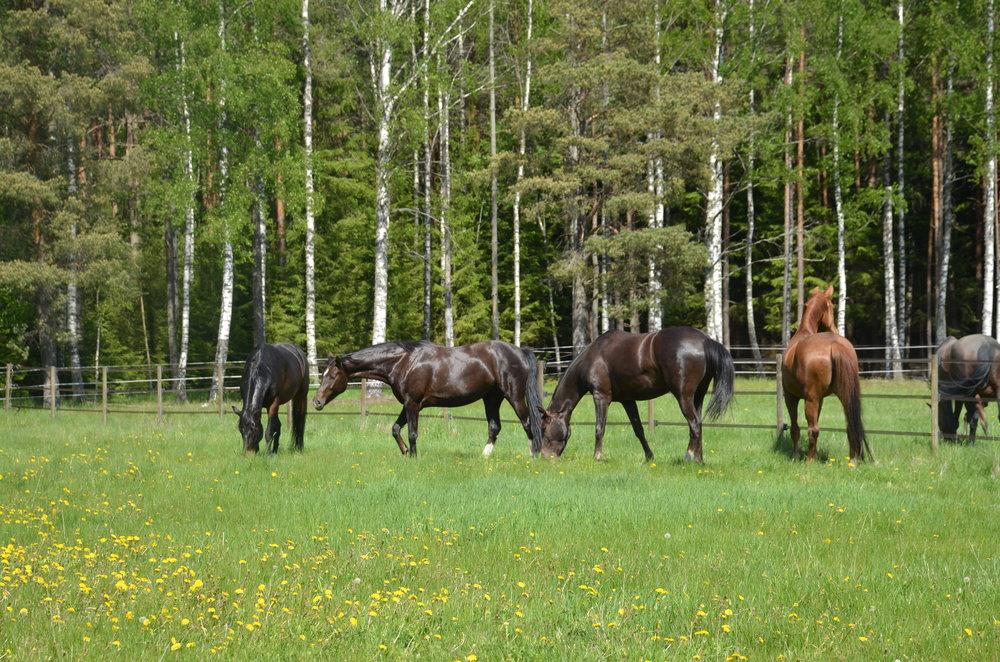 Jazz Primera andra hästen från vänster sommaren 2018
