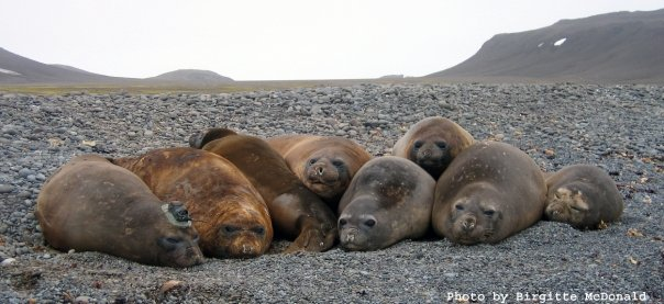 SouthernElephantSeals