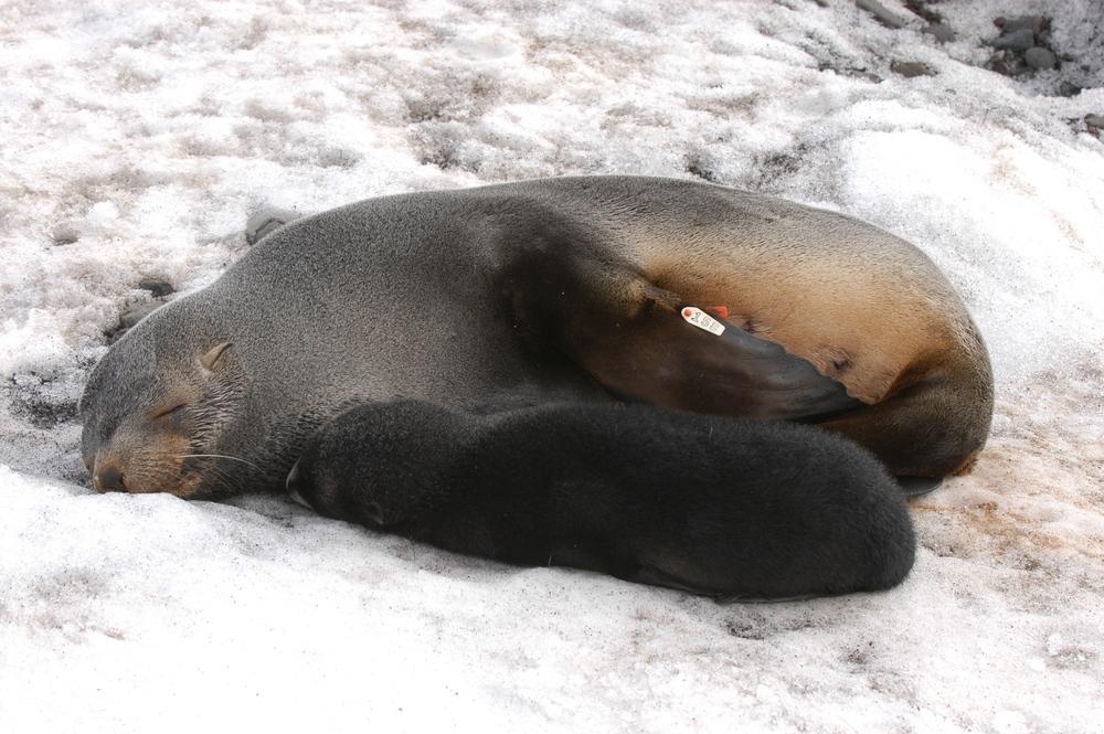 AntarcticFurSealPair
