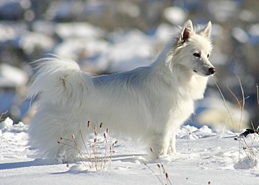 Amer_Eskimo_2.jpg