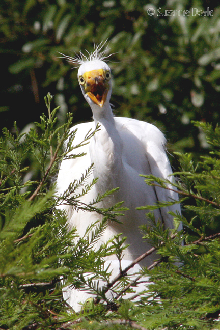 Egret baby hungry 72©.jpg