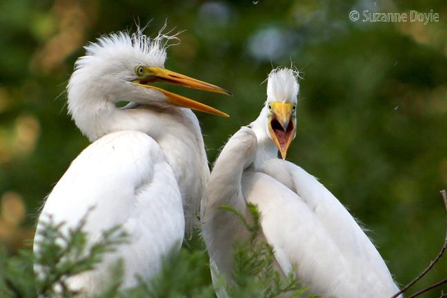 egret squawking 72 ©.jpg